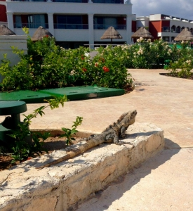 Iguana lay by the pool too
